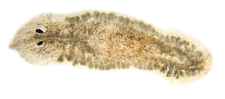 light brown flatworm