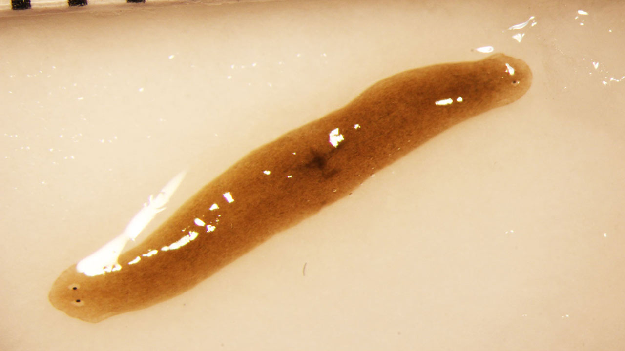 two headed flatworm from space station