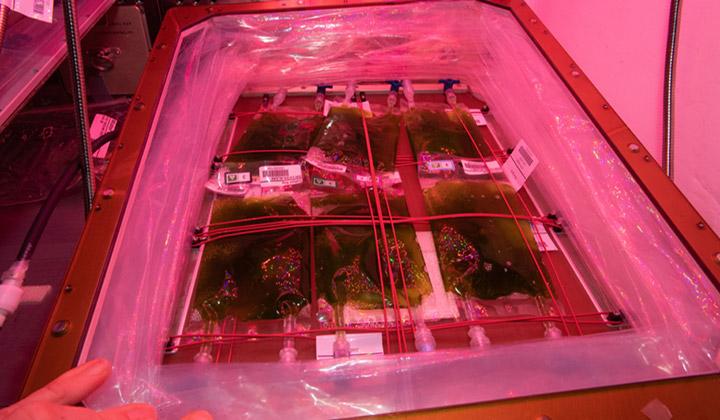 algae veggie unit