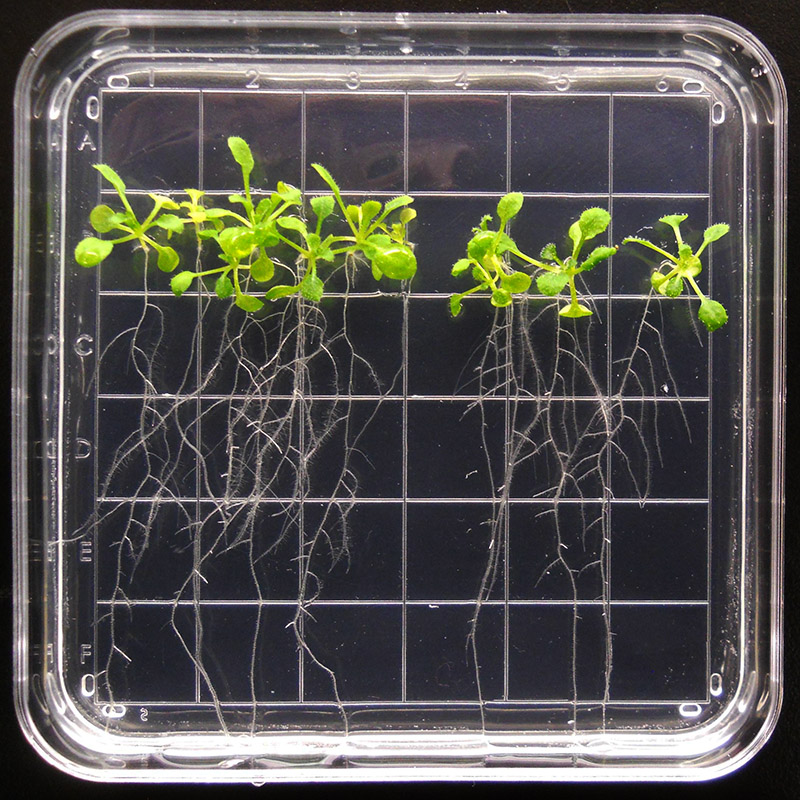arabidopsis plate nasa