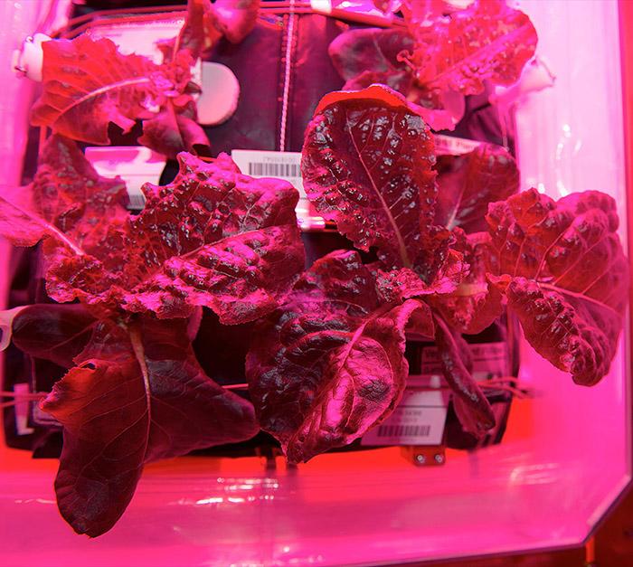 veggie space lettuce pink light squarish
