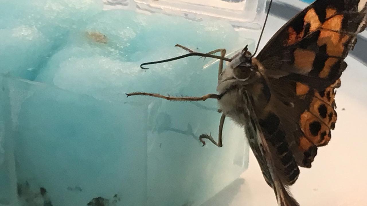 butterfly habitat monarch