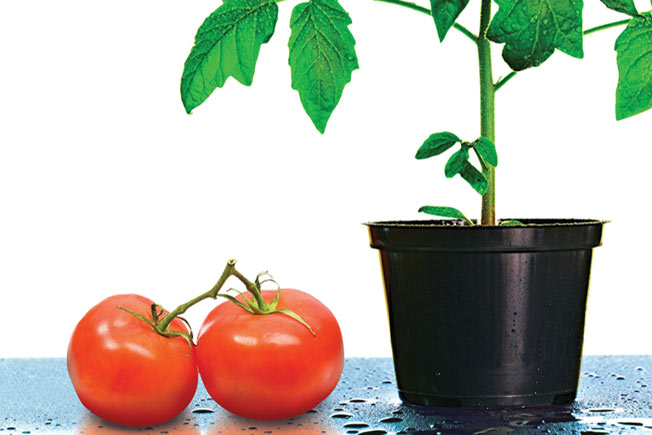 tomatosphere tomatos plant upward