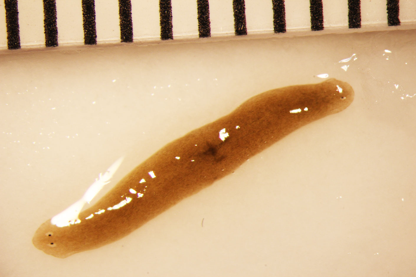 two headed flatworm from space station fig5b