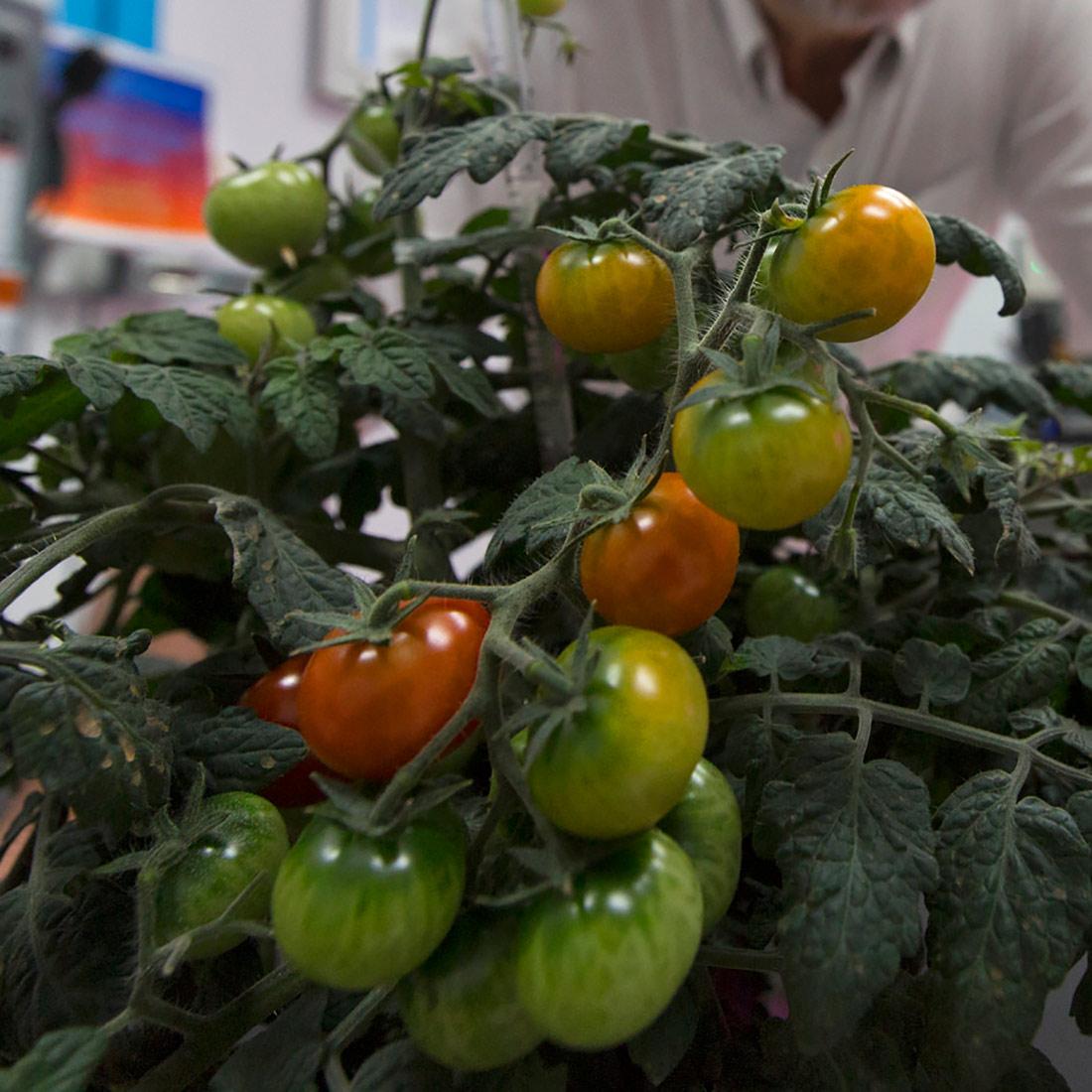 veggie ponds tomato